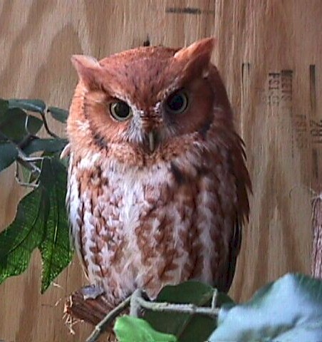 Eastern Screech Owl - Red Phase
